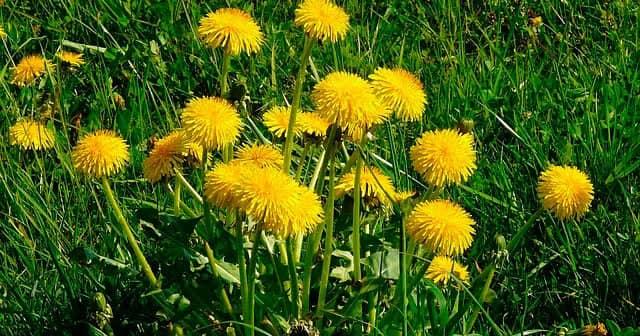 Karahindiba Bitkisi