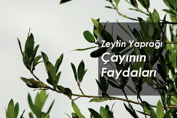 Zeytin Yaprağı Çayı Faydaları