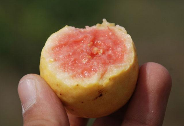Guava Meyvesi Faydaları