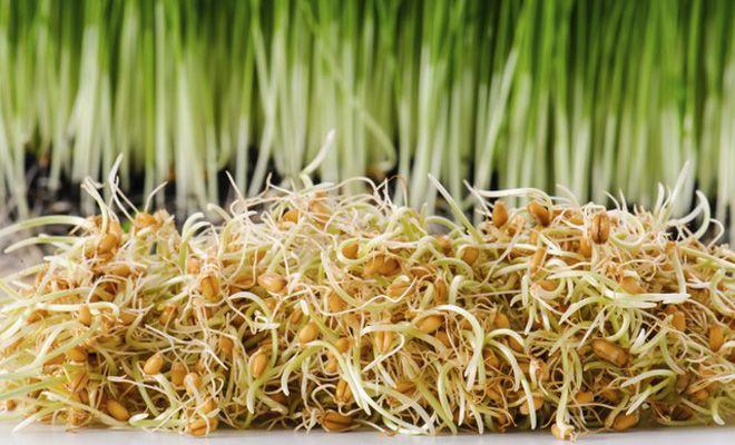 Filizlenmiş buğday