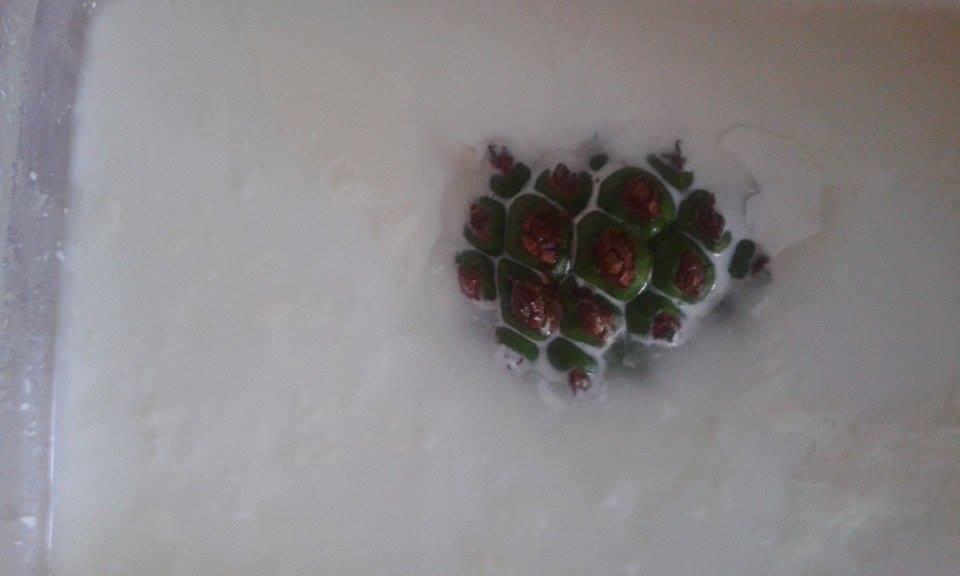 yoğurt mayalarken kozalak
